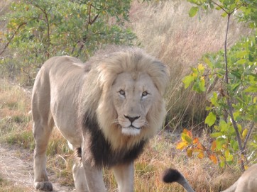 lion south africa